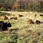 Cattle by Billy Atkinson